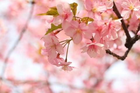 風景 桜 春