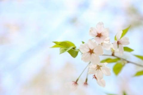 風景 花 桜