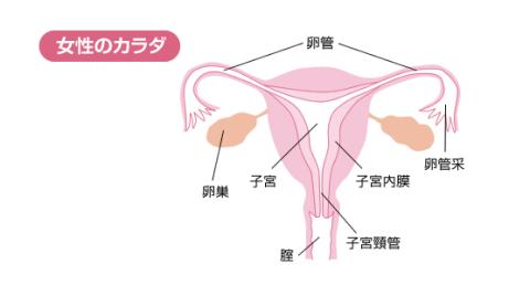 体 女性 仕組み
