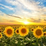 夏 ひまわり 太陽