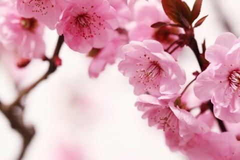 桃 花 木
