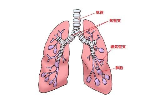 イラスト 肺 気管支 細気管支