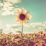 芽生え ひまわり 太陽 空 希望