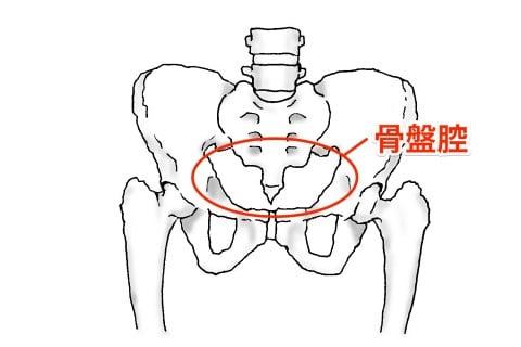 イラスト 骨盤腔