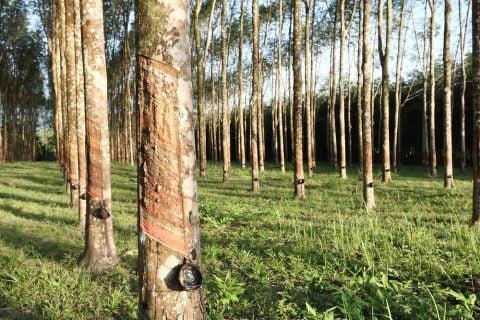 木 グリーン 森 林 ゴムの木 タイ