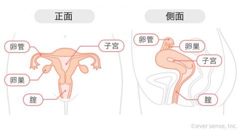 子宮 正面 横