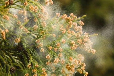 花粉 スギ 杉