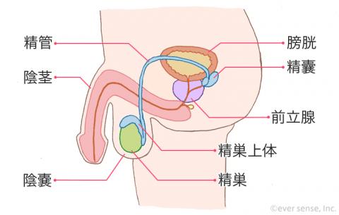 男性器 精巣 陰嚢 精巣上体 膀胱 前立腺 陰茎 精管