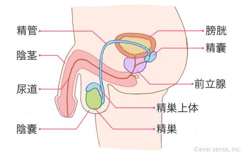 男性器 尿道 精巣上体 陰茎 精管 膀胱 精嚢 前立腺