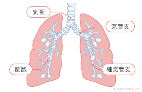 インフォグラフィック 肺胞 細気管支
