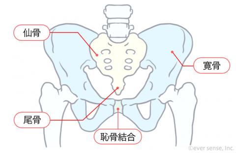 骨盤 恥骨結合 恥骨痛