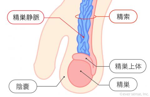 精巣 精索 精巣静脈 男性器