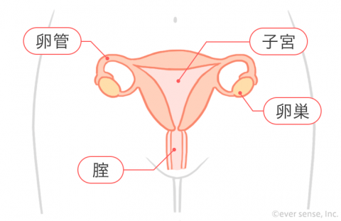 子宮 卵管 卵巣 腟