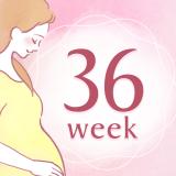 妊娠36週 アイコン