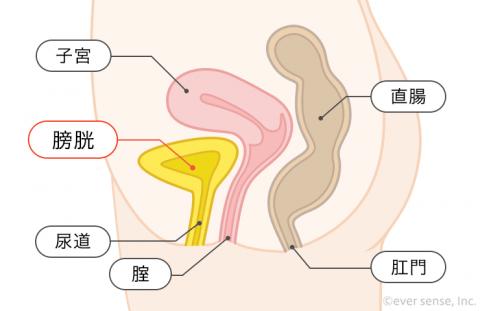 子宮 膀胱