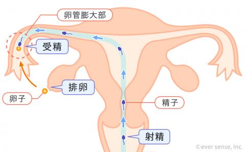精子 射精 排卵 受精