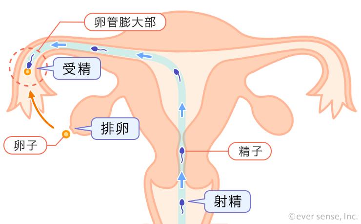 から まで 排卵 受精
