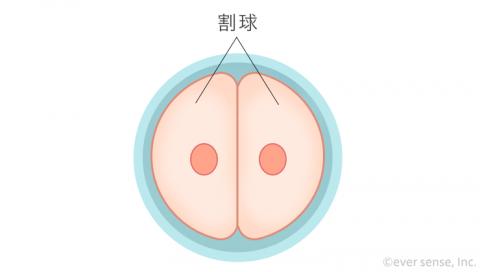 受精卵 細胞分裂 2細胞期