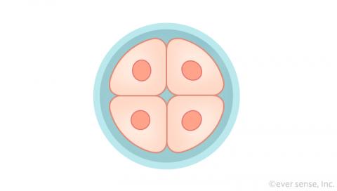 受精卵 細胞分裂 4細胞期