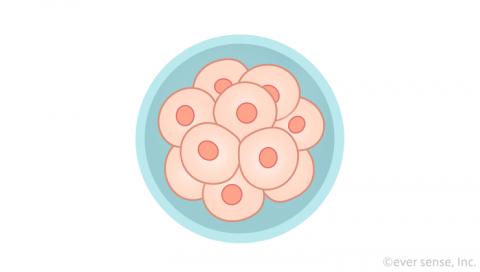 受精卵 細胞分裂 桑実胚