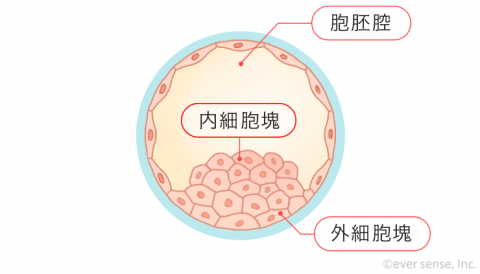 受精卵 細胞分裂 胚盤胞