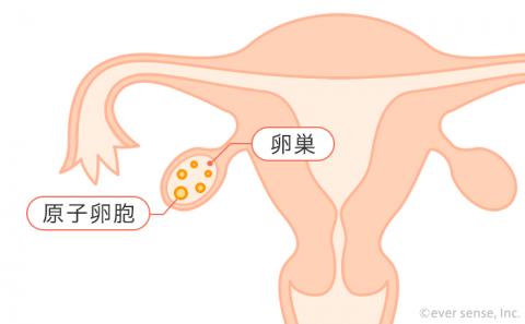 卵巣 原始卵胞 卵胞