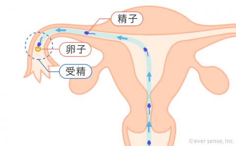受精 卵子 精子