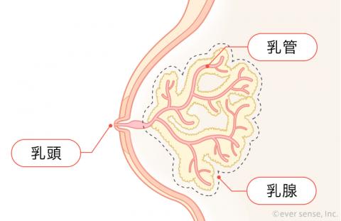 胸 乳腺 乳管 乳頭