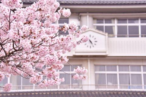 学校 桜 春 入学式