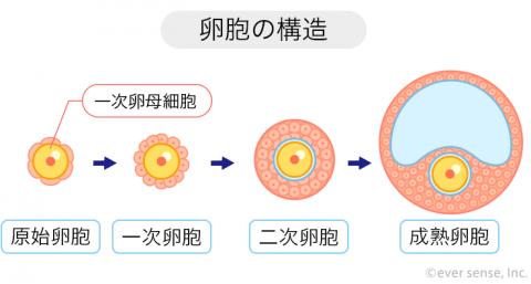 卵胞の構造