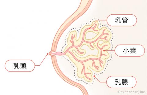 胸 乳腺 小葉 乳管