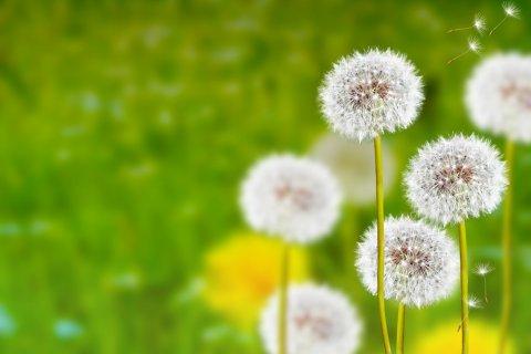 綿毛 たんぽぽ 柔らかい フワフワ ソフト 春